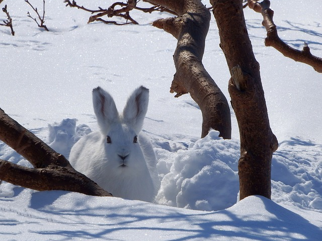 snowshoe_hare
